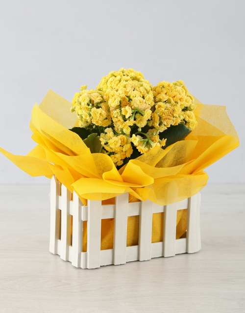 birthday: Kalanchoe Picket Fence!