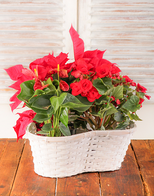 basket: Poinsettia Begonia and Anthurium Plant in Basket!
