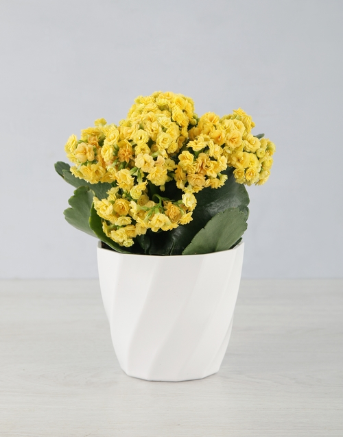 colour: Kalanchoe In Planter Pot!