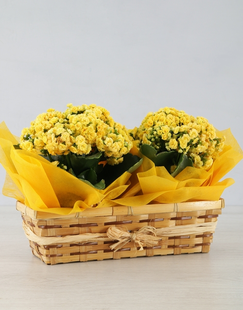 grandparents-day: Double Yellow Kalanchoe in Natural Basket!