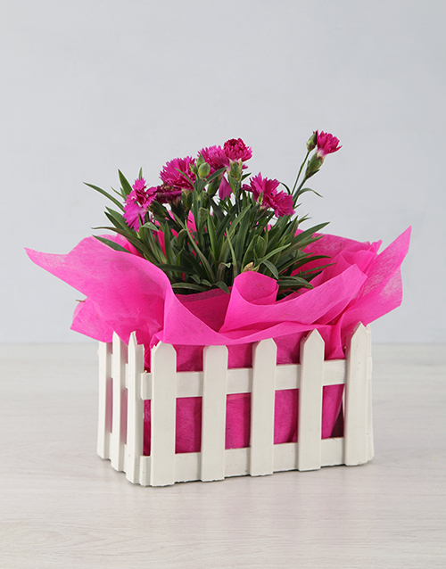 colour: Mini Dianthus in Picket Fence!