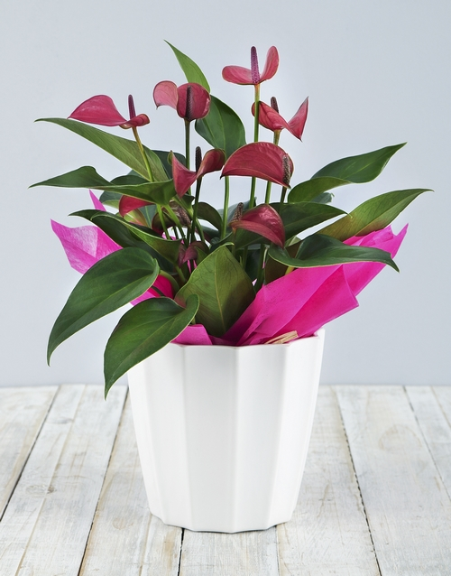 pottery: Anthurium in White Pot!