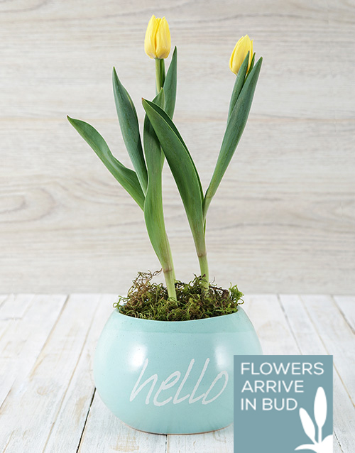 tulips: Hello Spring Tulip Pot!