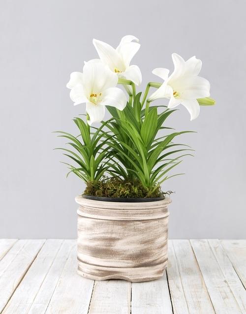 lilies: St Joseph Lily Pot!