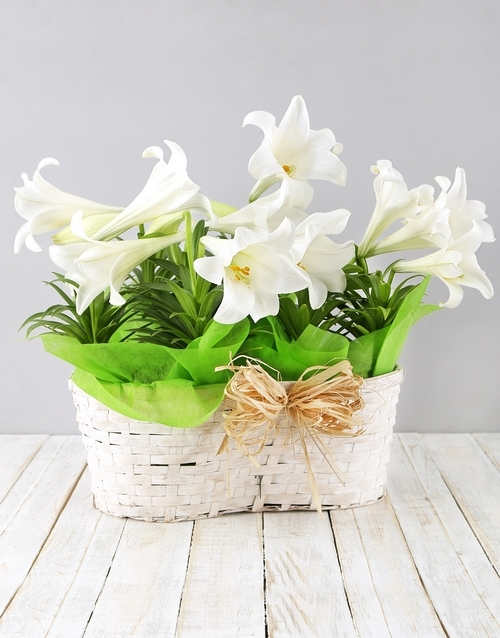 colour: Double St Joseph Lily Basket!