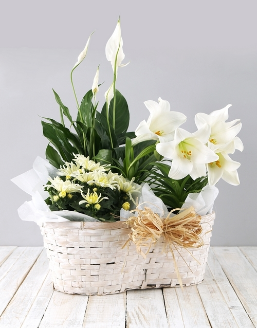 colour: Mixed St Joseph Lily Basket!