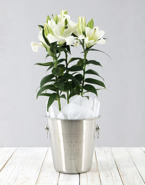 lilies: Lily Plant in Ice Bucket!