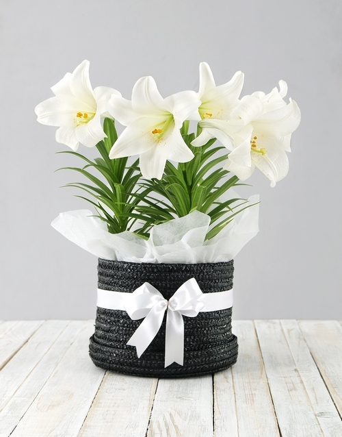 lilies: St Joseph Lily Plant in Hat Box!