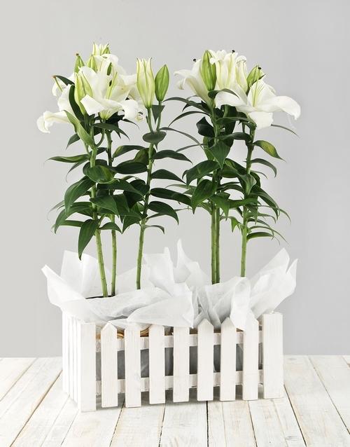 colour: Casablanca Lily Picket Fence!