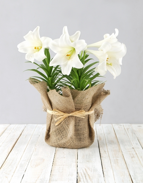 year-end: St Joseph Lily Plant in Hessian!