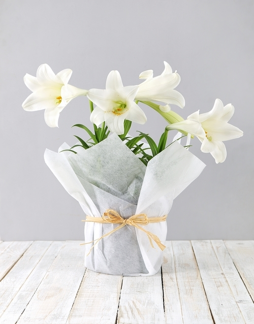 lilies: St Joseph Lily Plant in White Paper!