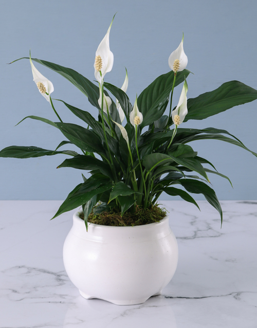 year-end: Spathiphyllum in White Pot!