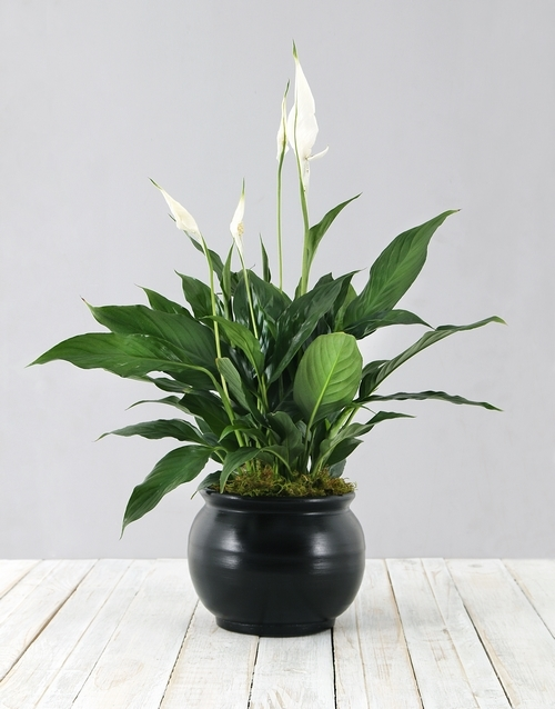 lilies: Spathiphyllum in Black Pot!