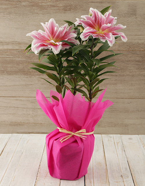 colour: Roselily Plant in Tissue Wrap!