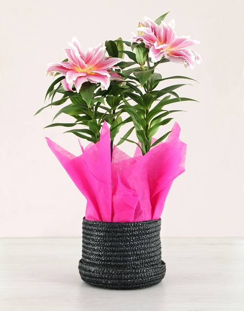 plants: Rose Lilly Plant in Black Hatbox!