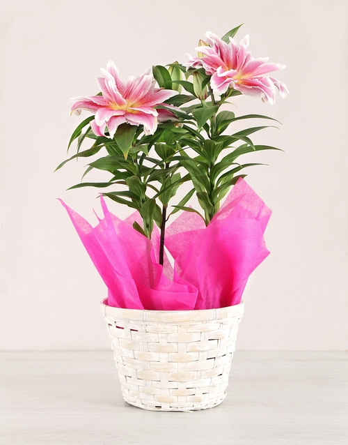 lilies: Rose liliy Plant in a basket!
