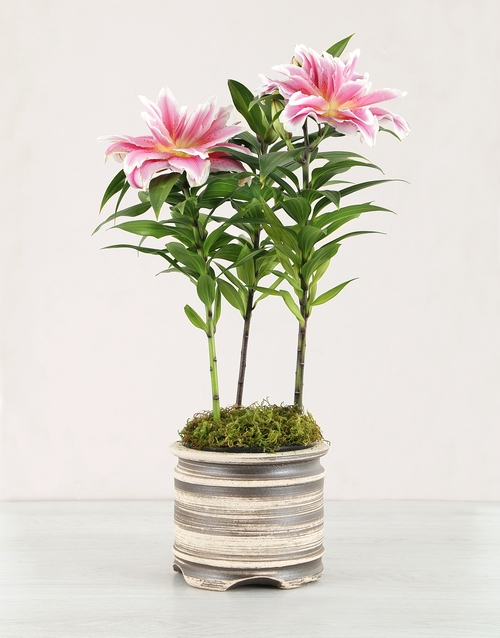 lilies: Rose Lily Plant in a Ceramic Pot!