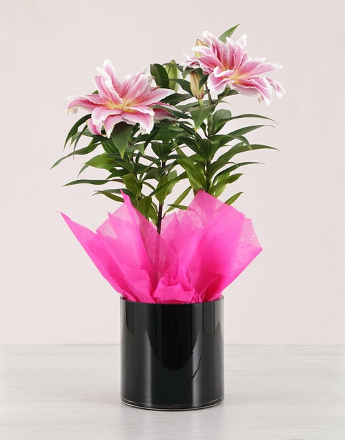 colour: Roselily Plant in a Black Vase!