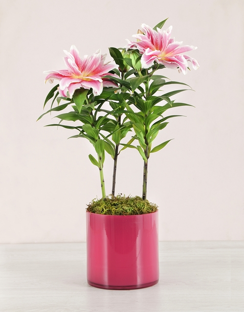 coloured-vases: Roselily Plant in Pink Cylinder Vase!