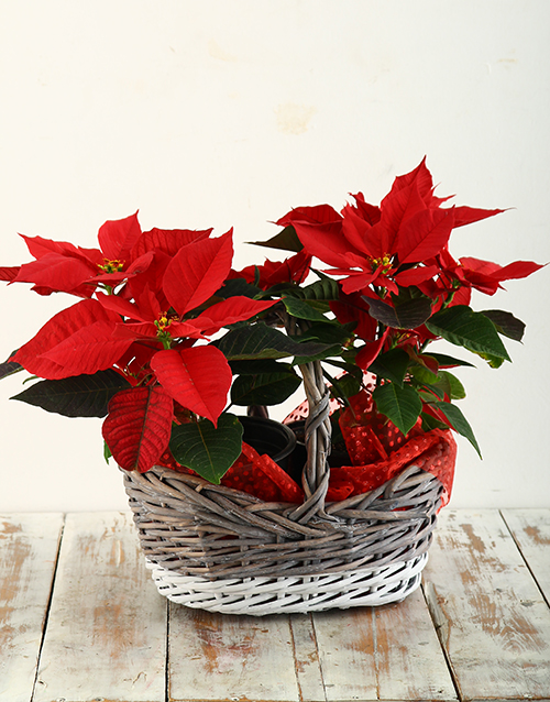 christmas: Poinsettia in Two Toned Basket!