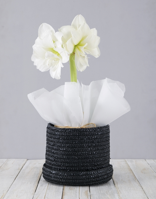lily: White Amaryllis in Woven Hat Box!