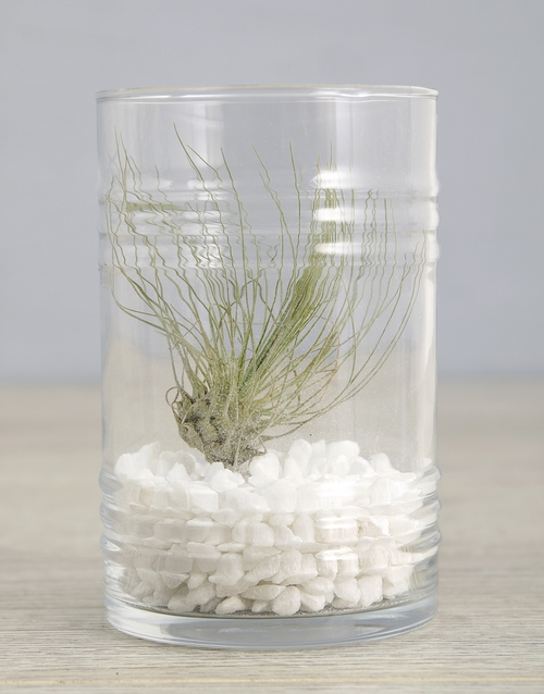 flowers: Argentea Air Plant In White Stone Ribbed Cylinder!