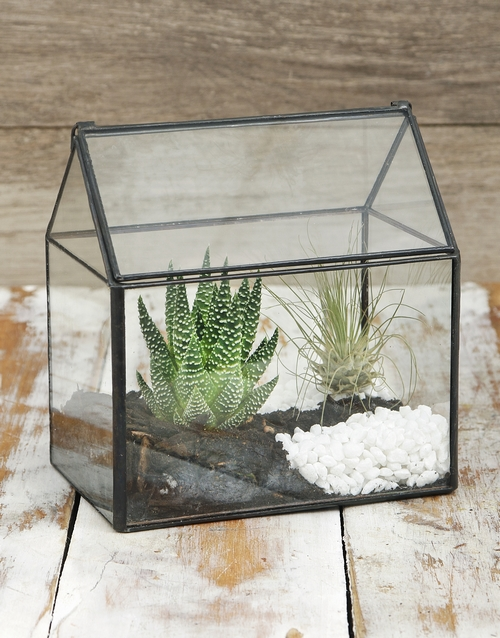 plants: Argentea And Succulent in Glass House!