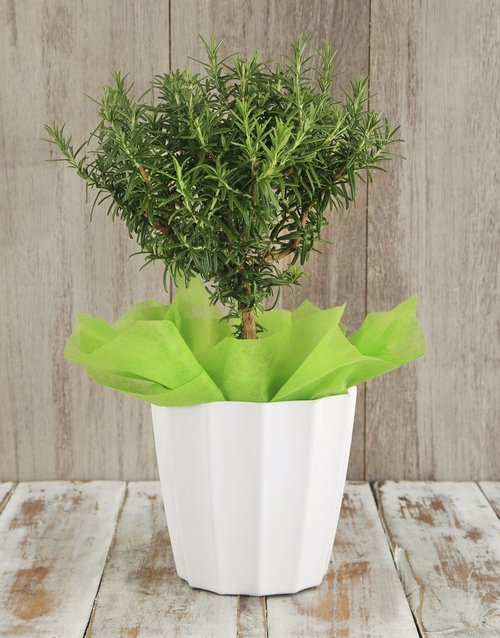 good-luck: Rosemary Plant in White Planter!