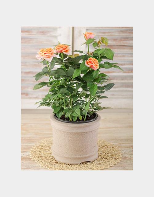 pottery: Orange Potted Rose Bush!