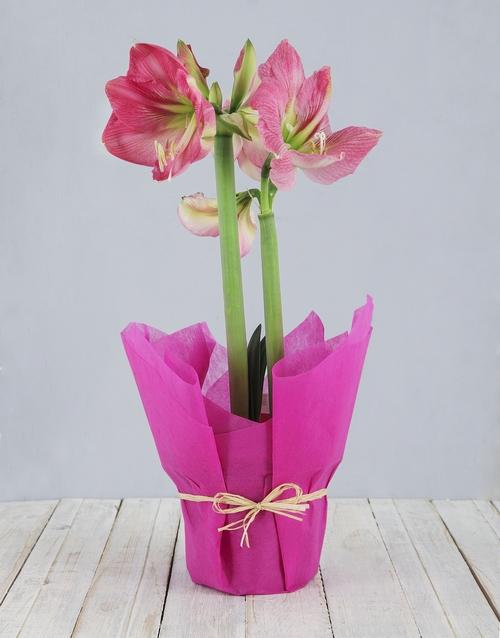 amaryllis: Pink Amaryllis Plant!