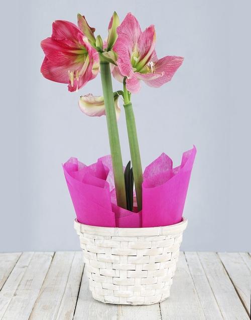 lilies: Pink Amaryllis Basket!