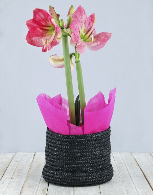 in-a-box: Pink Amaryllis in Woven Hat Box!