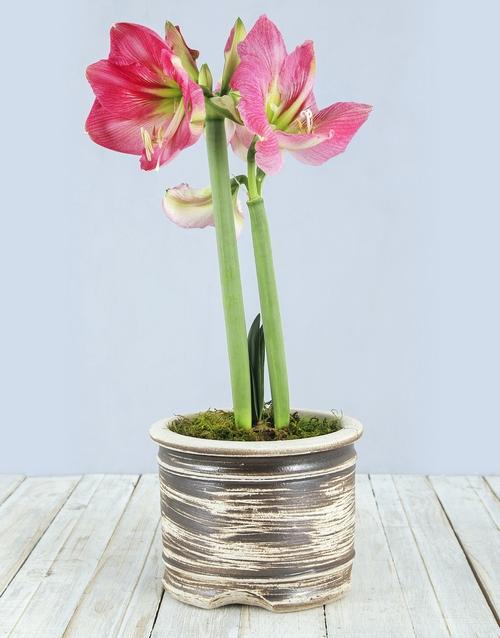 lilies: Pink Amaryllis Pot!
