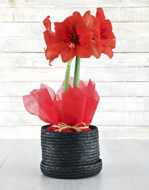 lily: Red Amaryllis in Woven Hat Box!