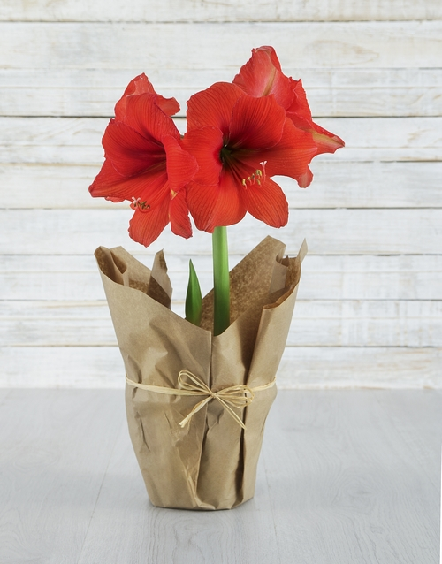 lily: Red Amaryllis in Craft Paper!
