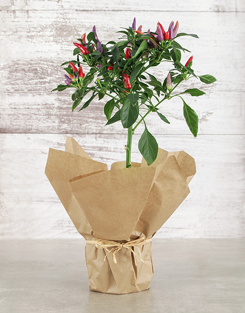 herbs: Rustic Red Chilli Plant!