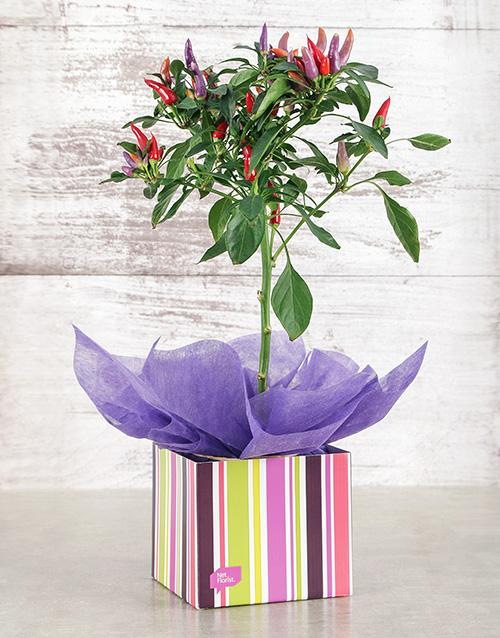 plants: Red Chilli in Occasion Box!