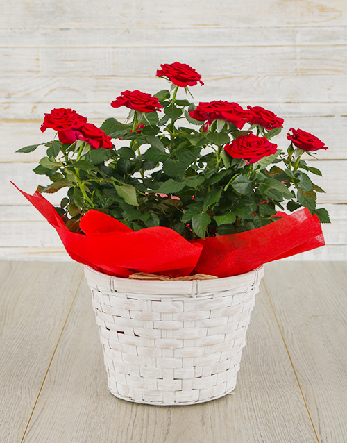 basket: Red Rose Bush in Planter!