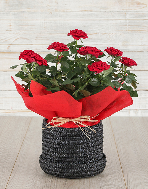 colour: Red Rose Bush in Hat Box!