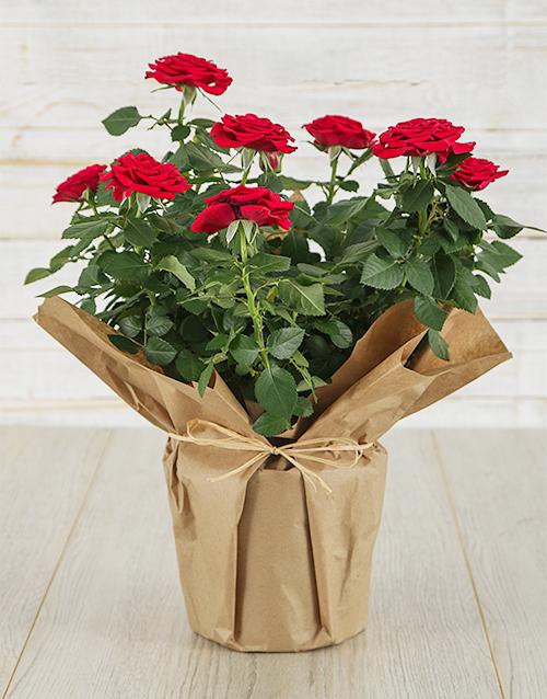 flowering: Red Rose Bush in Craft Paper !