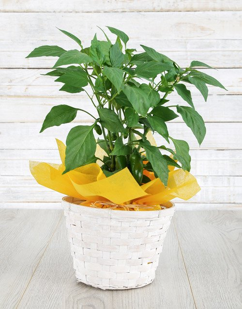 basket: Likes It Hot Plant!