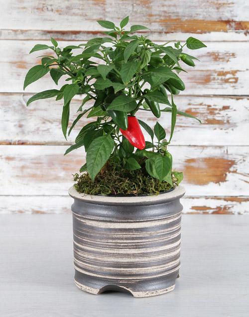 colour: Chilli in Pot Plant!