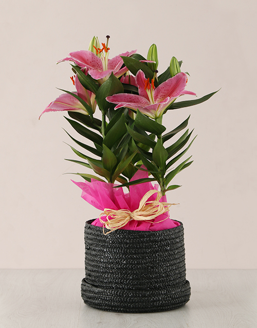 lilies: Stargazer Plant in Black Hatbox!