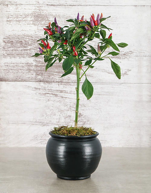 herbs: Red Chilli in Black Pottery!
