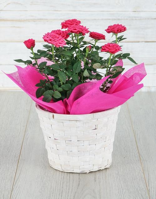 basket: Cerise Rose Bush in Planter!