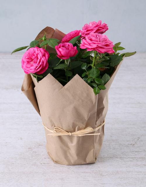 flowering: Cerise Rose Bush in Craft Paper !