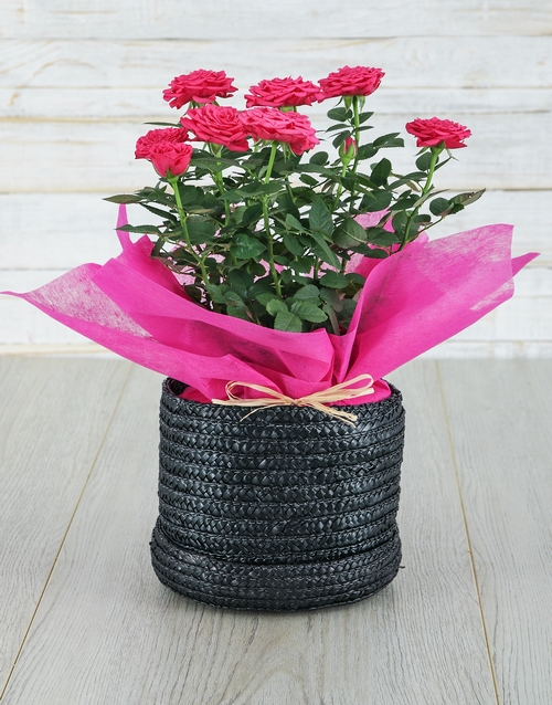 in-a-box: Cerise Rose Bush in Hat Box!