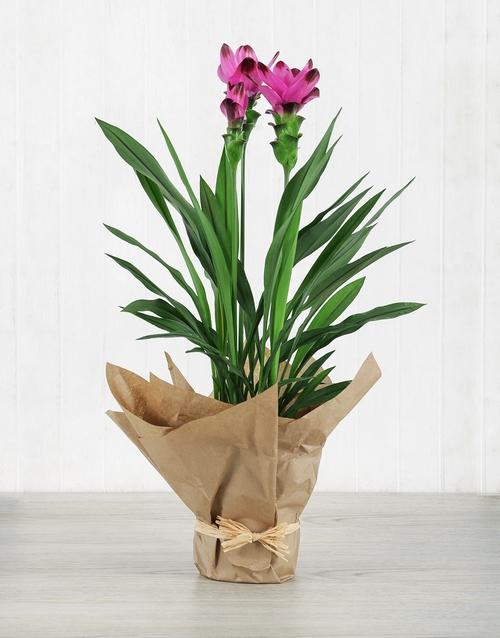 lilies: Purple Curcuma Plant in Brown Paper!