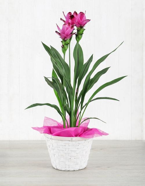 pottery: Purple Curcuma Plant in Planter Pot!