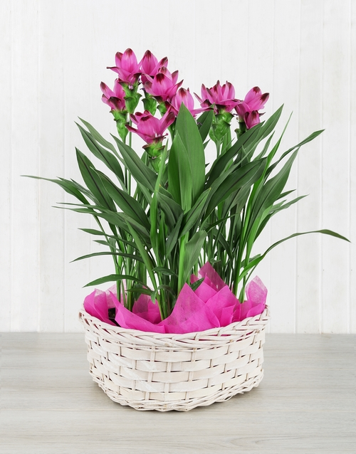 basket: Triple Purple Curcuma Plant Basket!